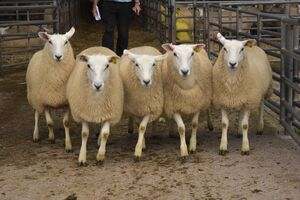 ROW 2020 - Top priced ewe lambs AW Davies £135.JPG