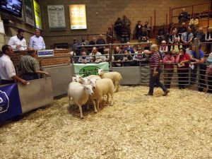 Ross 2017 - DJ Steen sells shlg ewes for £235 and £200.JPG