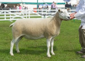 GYS 2019 - Overall Champion & First Prize Aged Ewe - RV Jones (No halter).jpg