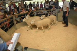 Exeter 2019 - DJ Searle sells sheaerling ewes at £120.JPG