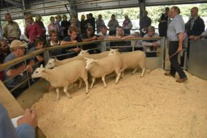 Exeter 2019 - AW Hughes sells shearling ewes to £152.JPG