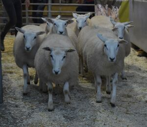 ROW 2020 - D Morgan sells ewe lambs at £110.JPG
