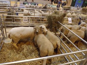 NLSC 2015 - David Knowles - Lleyn ewe with Hampshire Down lambs.jpg
