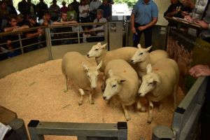 Exeter 2019 - E & D Jones sells shearling ewes to top £178.JPG