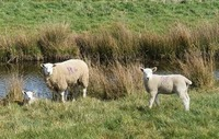 W Roobottom Flock 2662 Ewe and lambs by the river 080420.jpg