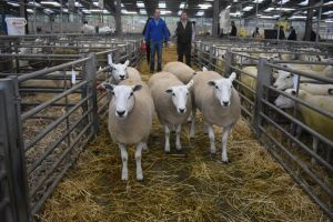 Welshpool 2018 - 1st Prize Shearling Ewes from T & B Fort - £250.JPG