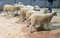Brecon 2020 - L Organ sells shearling ewes to £198.jpeg