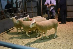 Ruthin 2018 - J Hamer sells Chmapion females for £232.JPG