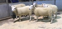 Brecon 2020 - Senior ewes from T Price - £160.jpeg