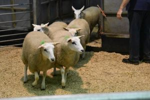 Ruthin 2018 - Colin Price sells two pen of ewe lambs at £100.JPG