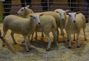 ROW 2020 - E & D Jones sell shearling ewes to £182.JPG