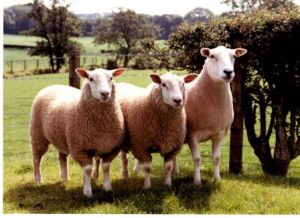 1991 - Geldard Ewe with Charollais.JPG
