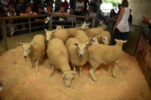 Exeter 2019 - Manor Farms Est Marden sell shearling ewes to £150.JPG
