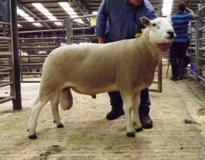 Skipton 2017 - Top priced ram - Lochar Ford 850gns.JPG