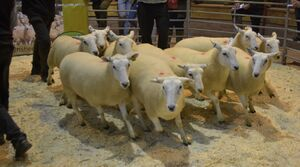 ROW 2020 - AW Davies sells shearling ewes to £160.JPG