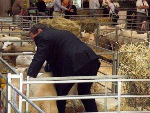 NLSC 2014 - Wynne Davies judges the ewes with crossbred lambs.jpg