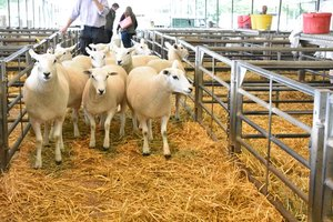 Ruthin 2018 - pen of 10 ewes sold to Southern Ireland by H Goldie - £210 & £195.JPG