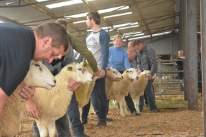 Roscommon 2019 - line up of rams.JPG