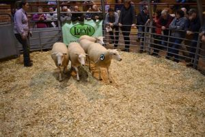 ROW 2018 - Phyl Hale sells 3rdprize pen of 5 shearling ewes for £160.JPG
