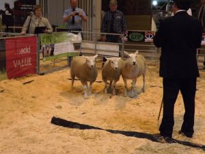 NLSC 2016 - Ewes with crossbred lambs.JPG