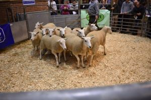 ROW 2018 - G & A Fort sells 2nd Prize Pen of 10 Shearling Ewes for £168.JPG