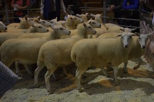 ROW 2020 - DJ & GA Watkins sells shearling ewes to 172.JPG