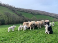 Cathy Evans Flock 150 ewes and lambs with sheepdog.JPG
