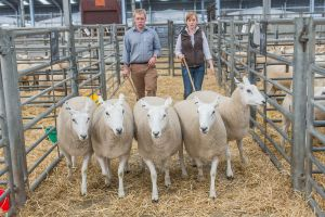 Pen of Gimmers from C and A Kennedy sold for £290