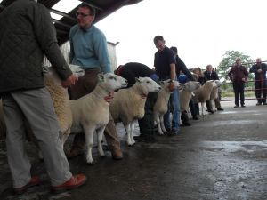 Ballymena 2015 - There was a strong line up of shearling rams.jpg