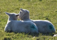 Alan West Flock 599 Pair of lambs in the sunshine 250320.jpg