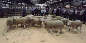 Carlisle 2014 - Ring full of shearling rams for judging.jpg