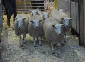 ROW 2020 - W Roobottom sells ewe lambs to £132.JPG