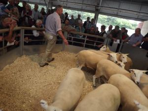 Exeter 2016 - STJ Turner sells shearling ewes to £135.JPG