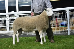 BW 2018 - 2nd Prize Ram Brightonhouse Golden Fire from G & A Fort.JPG