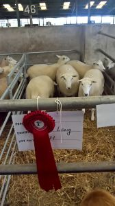 Roscommon - 1st prize shearling ewes - C & H Long.jpg