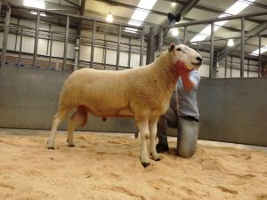 Stirling 2016 - Champion ram from D & B Henderson 550gns.JPG