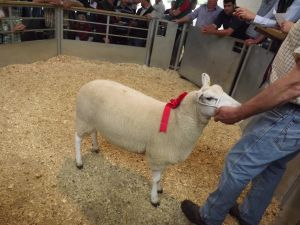 Exeter 2016 - Arfon Hughes sells individual shearling ewes for £240.JPG