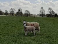 Will Roobottom Flock 2662 - Ewe and stand out lamb 070420.jpg
