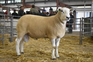 BW 2018 - Top priced ram - Ballylinney - 2000gns.JPG