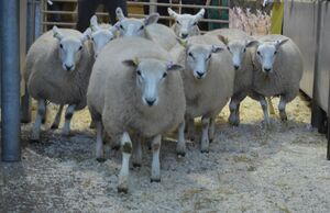 ROW 2020 - P Hale sells ewe lambs to £130.JPG