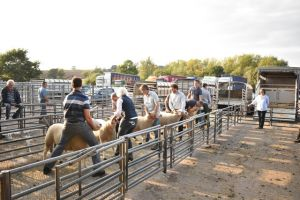 ROW 2018 - the rams got judged in the evening sunshine.JPG