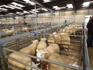 Welshpool 2015 - There was a good line up of sheep for judging.jpg