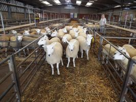 ROW 2016 - Top priced shearling ewes - D Steen - £210.JPG