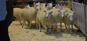 ROW 2020 - JA & R Geldard & Sons sell a pen of shearling ewes at £180.JPG