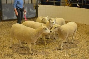 Roscommon 2019 - Orla Barry sells 5th prize shearling ewes at 200 euros.JPG