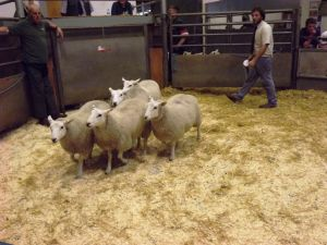 Bakewell 2015 - 2nd prize ewe lambs from TP Radford - £98.jpg