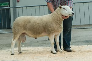 Lot 112 - from JK Goldie - Champion sold for 5,500 gns.jpg