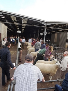 ROW 2015 - A strong entry of rams was put forward for judgeing.jpg