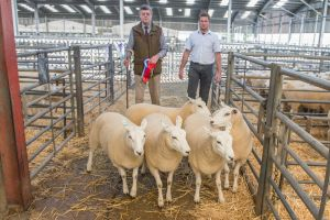 Reserve pen of Shearling Ewes from JA and R Geldard &  Sons