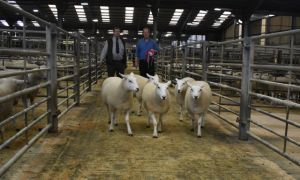 Skipton 2018 - 1st prize Shearling Ewes - H Goldie - £165.JPG